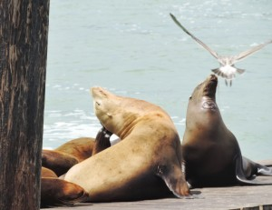 Sea Lions on the Wharf
